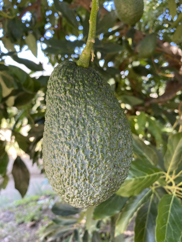 Árbol Aguacate Hass